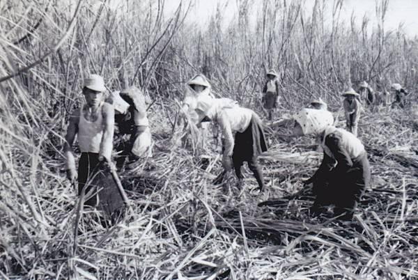 龍巖糖廠-人工採收4.jpg