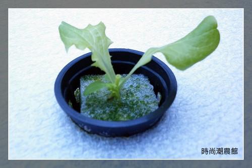 lettuce15day-4.jpg