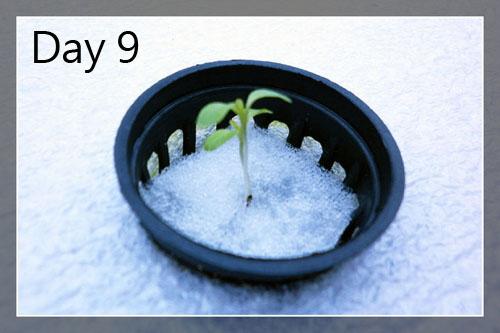 lettuce9day-1a.jpg