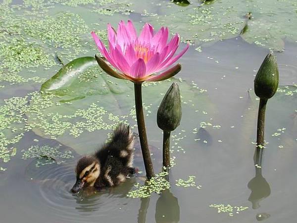 觀音-蓮花與小水鴨