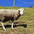 草原、綿羊、小木屋-清境農場
