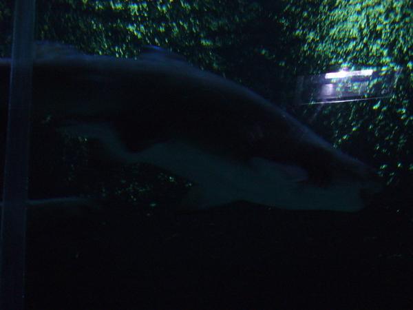 大鯊魚......登登.....登登登登.....