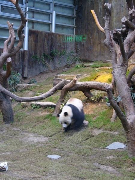 貓熊好像球球唷
