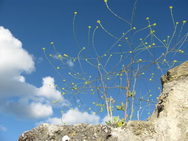 聖喬治城堡 Catelo de Jorge上的臘菊~不知道她在這兒站了多久