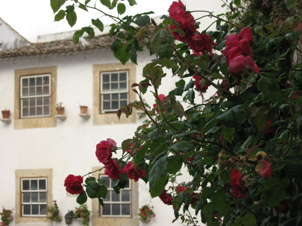 Obidos盛開的玫瑰