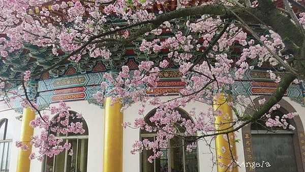 窗台的櫻花.jpg
