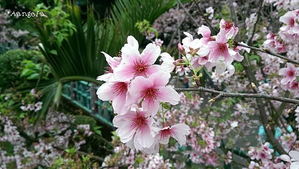 櫻花開了.jpg