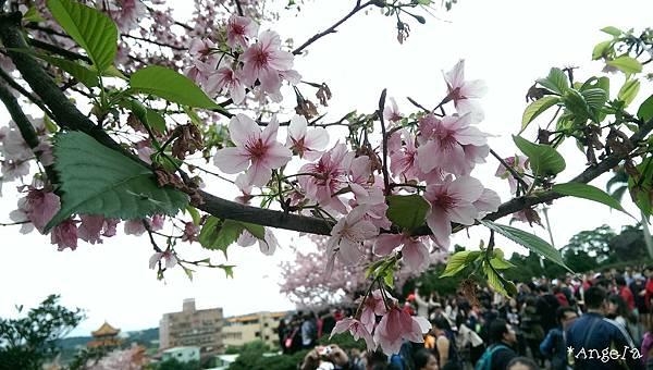 櫻花樹下的人潮.jpg