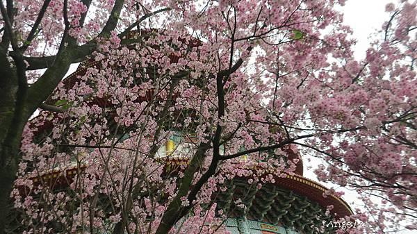 櫻花樹下看天元宮.jpg