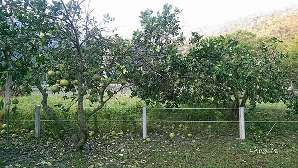 -掉滿地的柚子.jpg