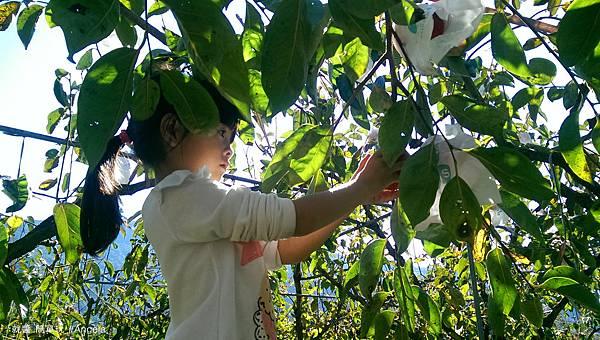 摘柿子.jpg