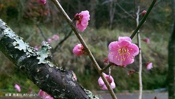 櫻花開-1.jpg