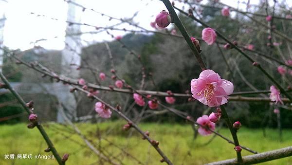 櫻花開-2.jpg