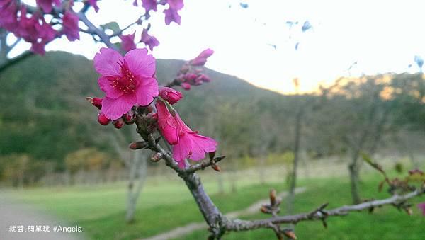 出綻放的櫻花.jpg