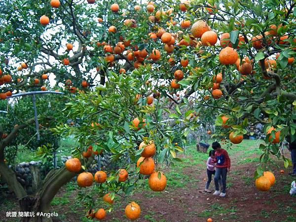 穿梭在橘子園裡.jpg