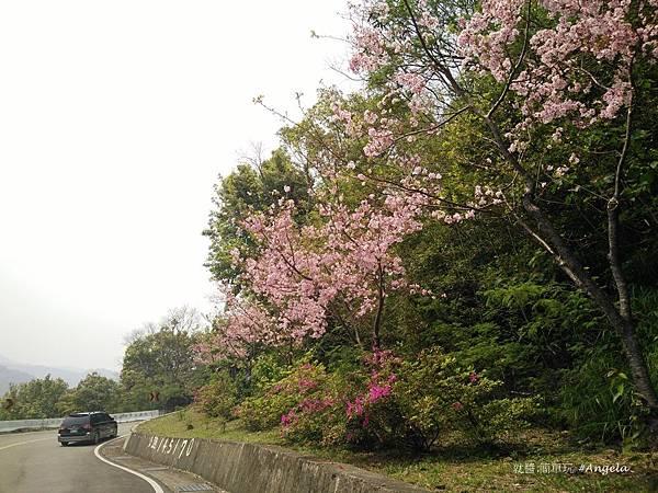 4 沿途櫻花綻放.jpg