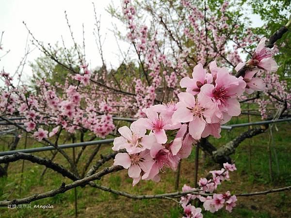 木村的家-桃花-1.jpg