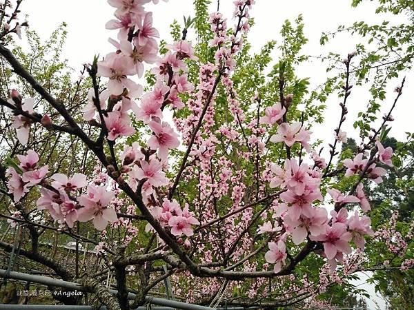 木村的家-桃花.jpg