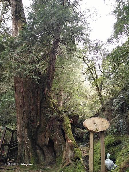 拉拉山自然保護區-四號神木.jpg