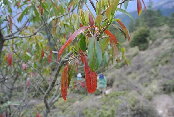 DSC_3501尖葉槭.JPG