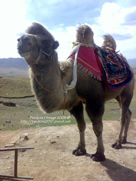 2008.10.03-青海湖沿路的駱駝