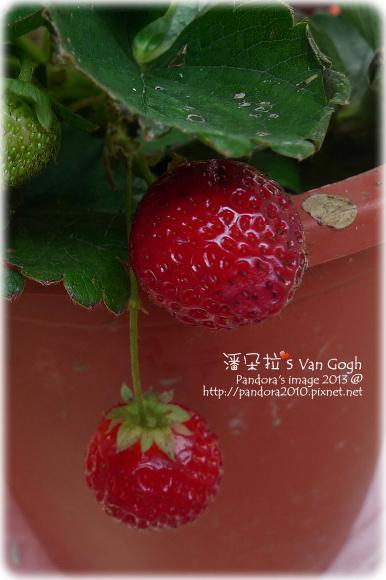 2013.02.17-無毒草莓