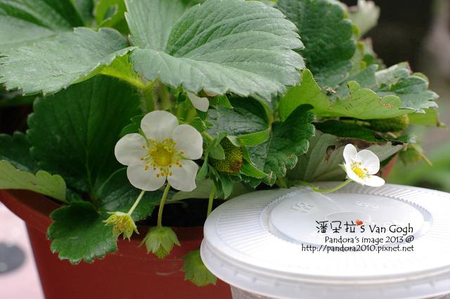 2013.02.20-小草莓