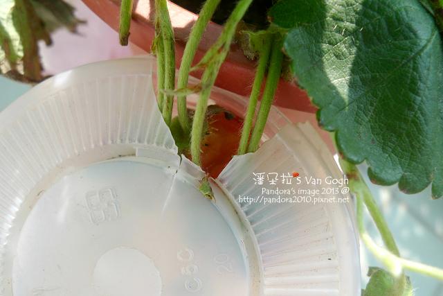 2013.03.09-小草莓n12