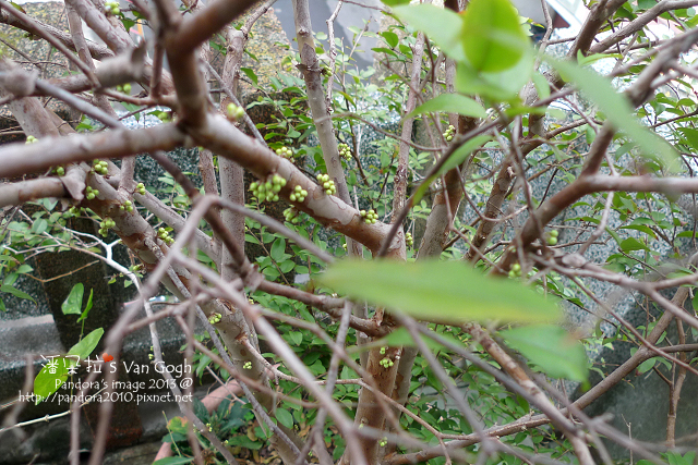 2013.03.15-樹葡萄