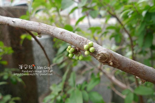 2013.03.15-樹葡萄-1
