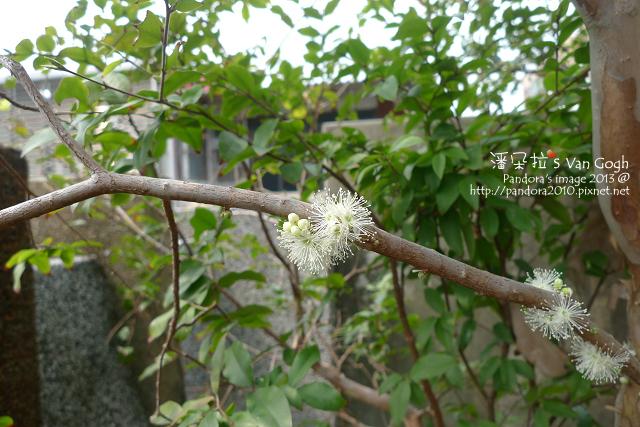 2013.03.19-樹葡萄-1