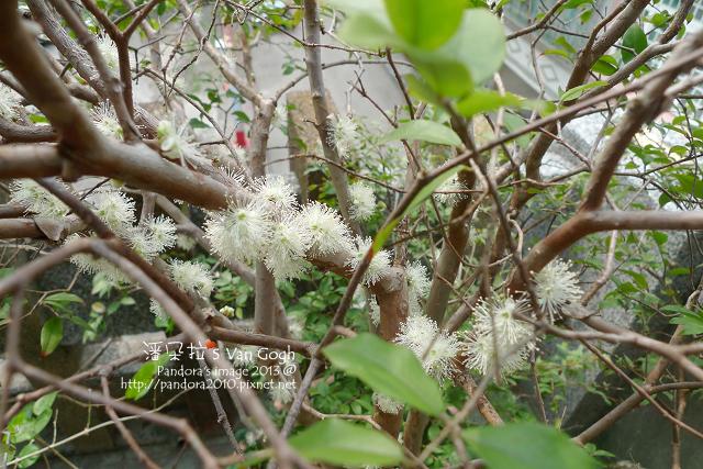 2013.03.19-樹葡萄開花了