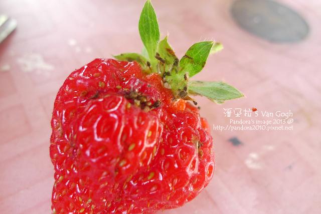 2013.03.17-小草莓n16-蚜蟲入侵