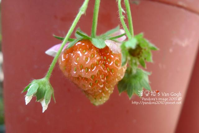 2013.03.17-小草莓n17