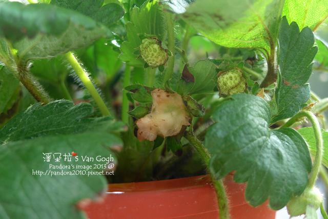2013.03.22-小草莓n20