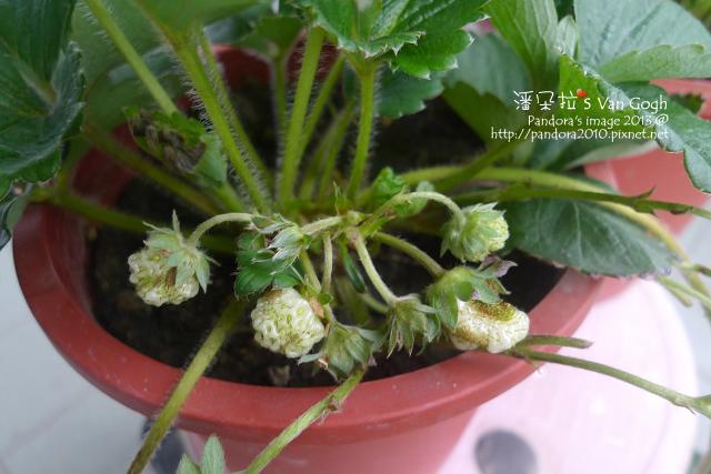 2013.03.26-小草莓
