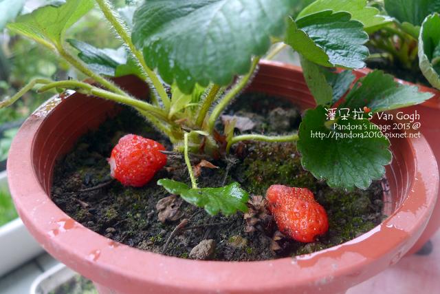 2013.03.26-小草莓n18、n19-化作春泥