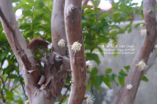 2013.03.20-樹葡萄1