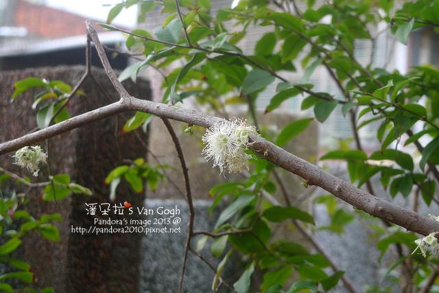 2013.03.20-樹葡萄2.jpg