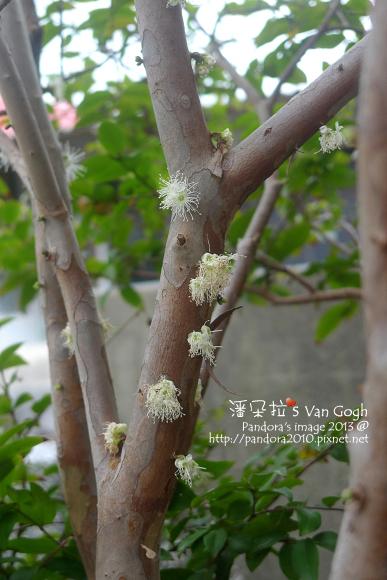 2013.03.20-樹葡萄3