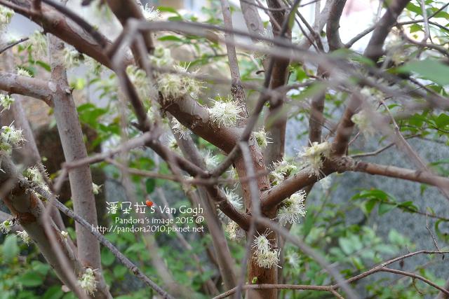 2013.03.20-樹葡萄4