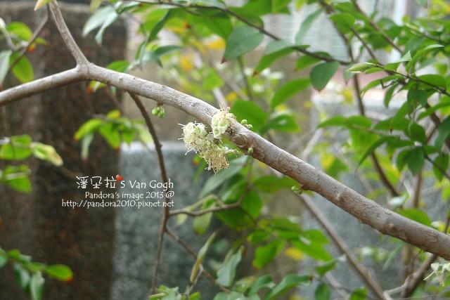 2013.03.21-樹葡萄2