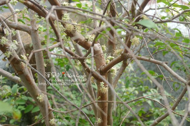 2013.03.21-樹葡萄3