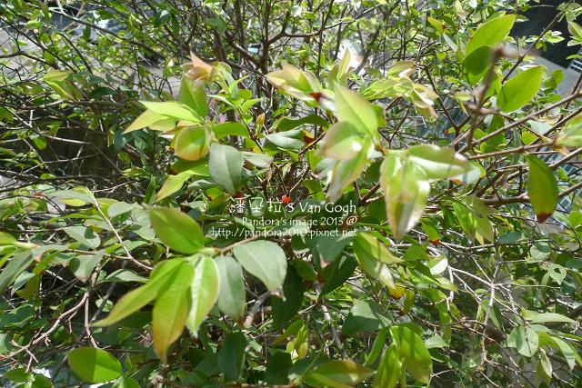 2013.03.25-樹葡萄