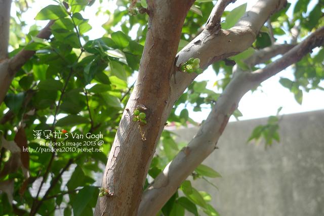 2013.03.25-樹葡萄2