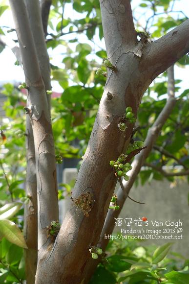 2013.03.25-樹葡萄3
