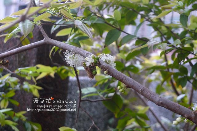 2013.03.26-樹葡萄