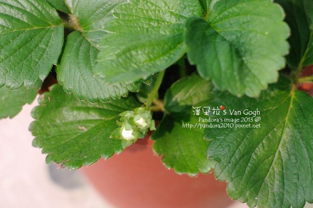 2013.04.08-小草莓