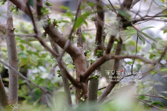 2013.03.27-樹葡萄
