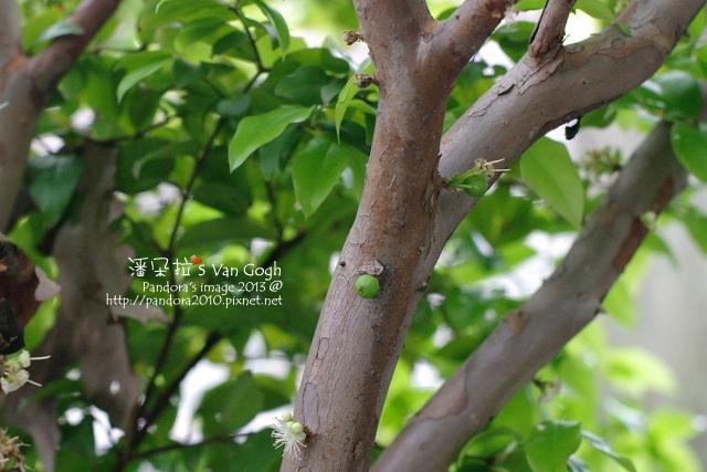 2013.04.01-樹葡萄